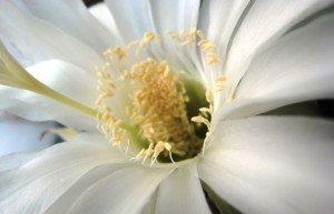 Как ухаживать за кактусом, чтобы он зацвёл