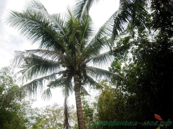 Кокосовая пальма