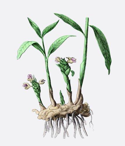 ростки имбиря