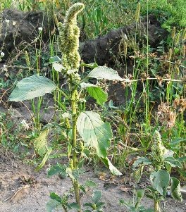 Щерица - огородный сорняк