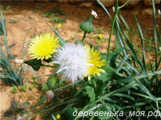 цветок осота