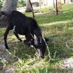 Черный козёл