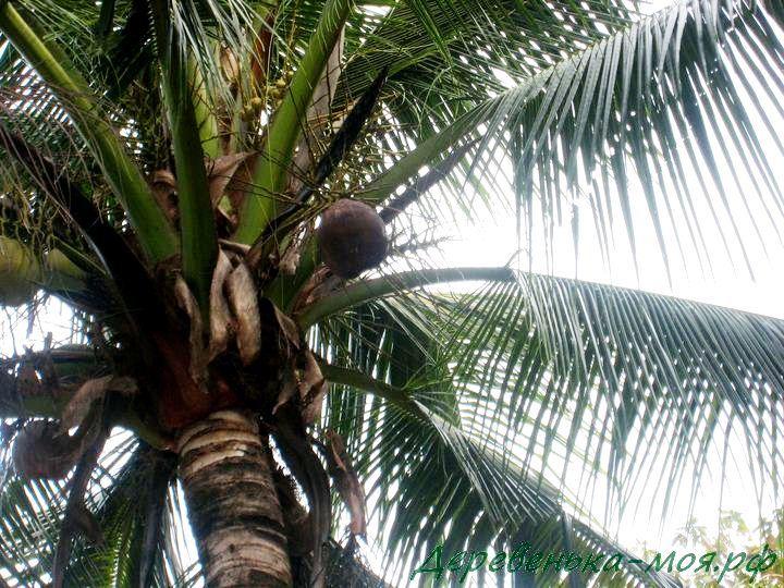 Пальма и кокос